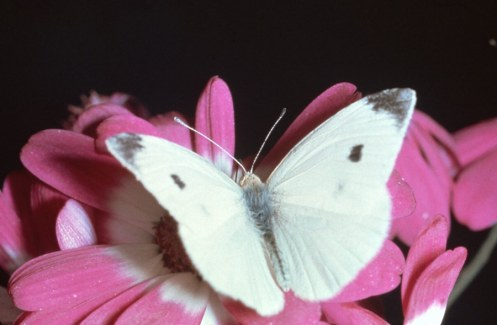cabbage-moth-cabbage-butterfly-1-la